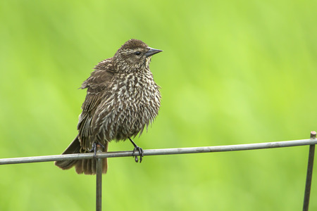 Song sparrow (melospiza melodia) perched on a wire fence by Hauser Lake, Idaho.