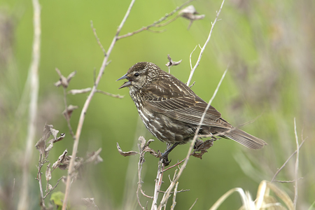 Song sparrow (melospiza melodia) perched on a twig by Hauser Lake, Idaho.