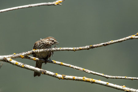 Small song sparrow  perched on a branch has a leg up near Harrison, Idaho.