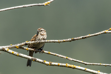 Small song sparrow is perched on a branch near Harrison, Idaho. Banco de Imagens