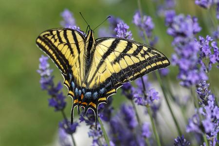 A yellow swallowtail, papilio multicaudata gathers nectar on a lavender plant, Lavandula spica.