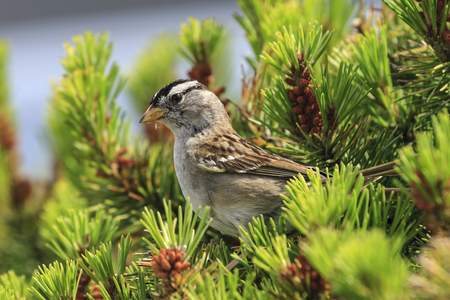 A white crowned sparrow, zonotrichia leucophrys, is perched on a plant in Seaside, Oregon. Stock Photo