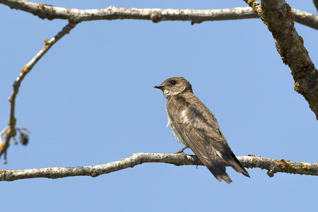 A northern rough winged swallow perched on a small branch by Fernan Lake in North idaho. Banco de Imagens