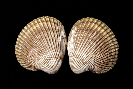 Macro photo of cockle clam shells in a studio setting.