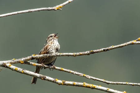 Small song sparrow iperched on a branch is singing near Harrison, Idaho.