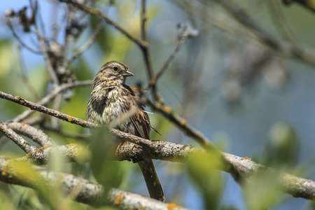 Song sparrow (Melospiza melodia) is perched on a branch by Thompson Lake near Harrison, Idaho.
