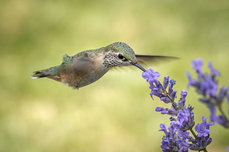 A female calliope hummingbird, selasphorus calliope, drinks the nectar from a lavendar flower. Foto de archivo - 106910358