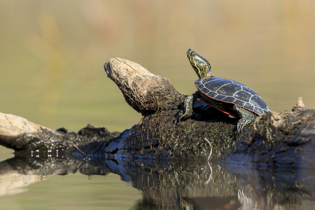 An America Painted turtle (chrysemys picta) basks in the sun on a log on Fernan Lake in Idaho.