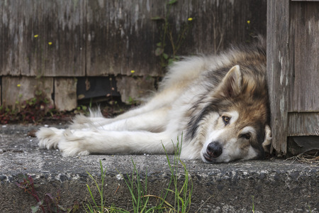 A husky dog lays on the concrete by a house in Seaside, Oregon.