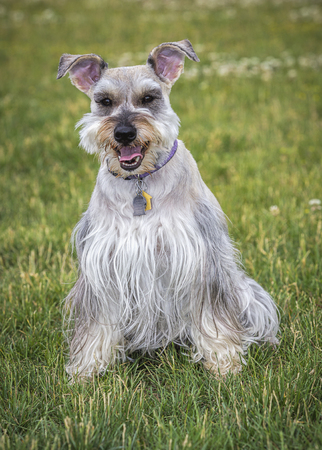 A portrait of a miniature schnauzer in a park in north Idaho.