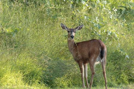 Black tailed deer, Odocoileus hemionus columbianus, grazing in a grassy are in Astoria, Oregon. 写真素材