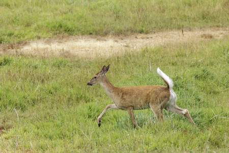 White tailed deer runs in a grassy field near Hauser, Idaho.