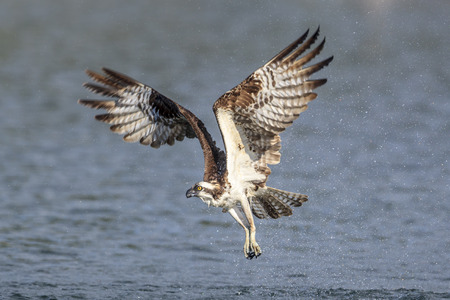 An osprey flies off from the water without catching the fish in Hayden, Idaho.