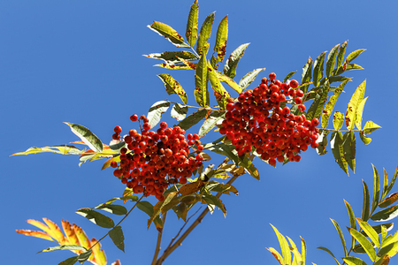 Mountain ash berries set against a blue background in north Idaho.