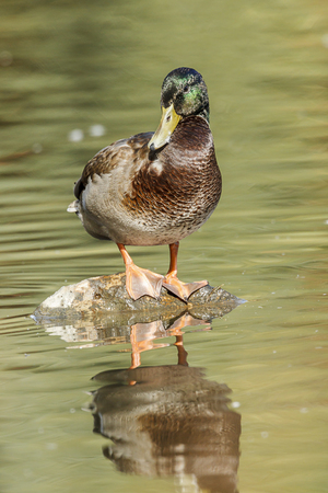 A mallard duck is busy preening itself at Cannon Hill Park in Spokane, Washington.