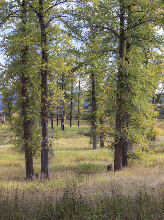 Tall trees in a well kept grassy field in north Idaho. 版權商用圖片