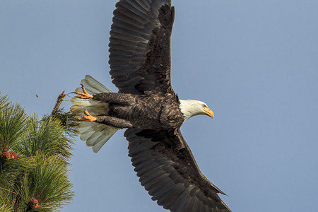 An American bald eagle flies off from a tree by Coeur d'Alene Lake in Idaho. 版權商用圖片