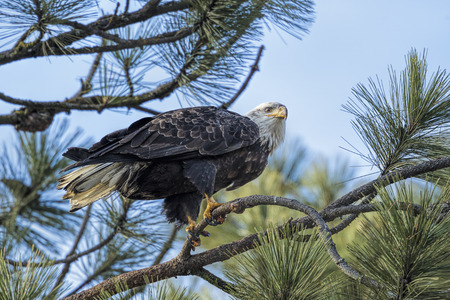 An american bald eagle is perched in a tree above Coeur d'Alene Lake in Idaho. 版權商用圖片