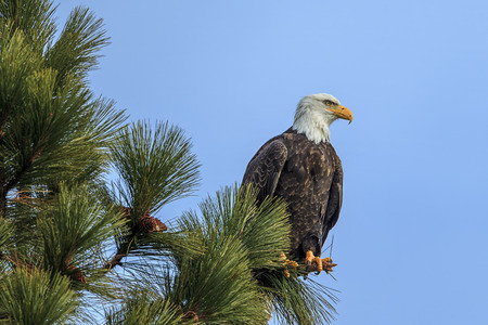 An American bald eagle is perched in a tree by Coeur d'Alene Lake in Idaho.