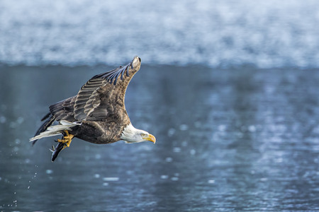 An american bald eagle flies off with a fish on Coeur d'Alene Lake in Idaho.