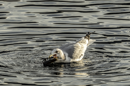 A seagull caught a fish in its beak in Coeur d'Alene Lake in Idaho. 版權商用圖片
