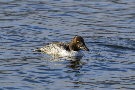 Female barrow's goldeneye swims on the calm water of Coeur d'Alene Lake in north Idaho.