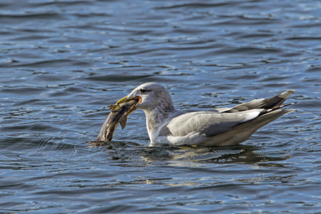 A california gull has a fish in its beak on Coeur d'Alene Lake in north Idaho.