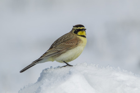 A small cute horned lark in in a snowy field near Davenport, Washington.