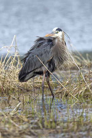 Great blue heron stands in a marsh in Hauser, Idaho.