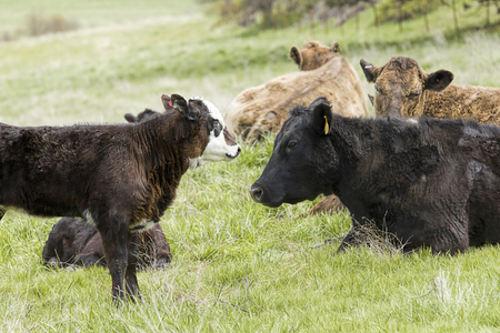 A cow and its calf face each other in eastern Washington. Stock Photo