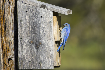A tiny mountain bluebird is perched atop a bird house at Farragut State Park in north Idaho. Banco de Imagens