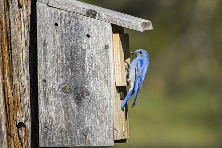 Un petit oiseau bleu des montagnes est perché au sommet d'un nichoir à Farragut State Park, dans le nord de l'Idaho.