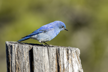 A tiny mountain bluebird is perched atop a wood post at Farragut State Park in north Idaho.