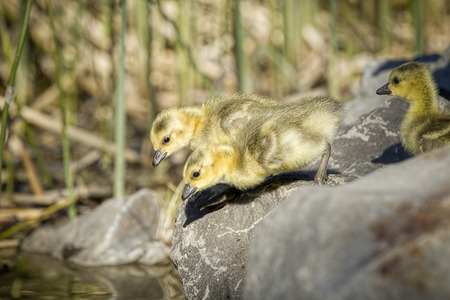 A couple of goslings are getting ready to jump into water at Manito Park in Spokane, Washington.