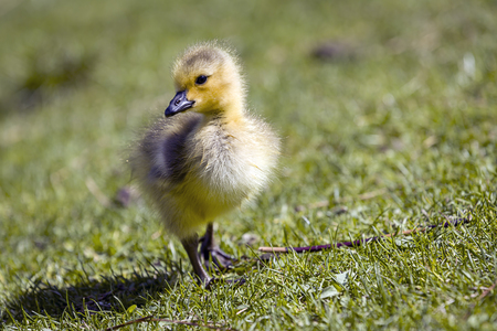 Small gosling stands on the grass in a park in Post Falls, Idaho. 스톡 콘텐츠