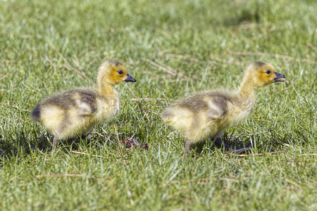 Two young goslings walk in the grass in Post Falls, Idaho.