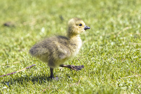 Small gosling walks on the grass in a park in Post Falls, Idaho.