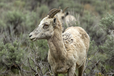 A close up portraiture of a young bighorn sheep in Yellowstone. 版權商用圖片