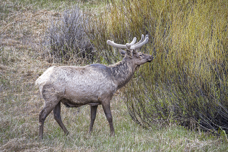 An elk stands in a meadow by a large bush in Yellowstone National Park.