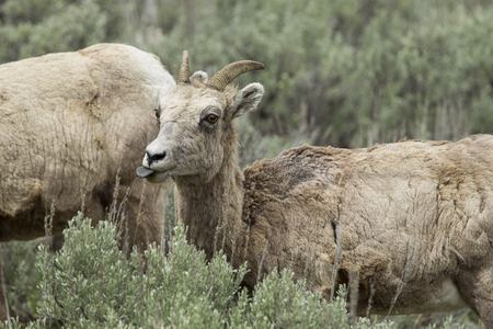 A young bighorn sheep with its tongue out grazing on the plants in northern Yellowstone National Park.