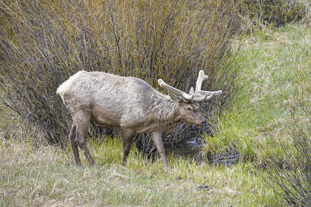 An elk starts to cross a small stream in Yellowstone National Park.