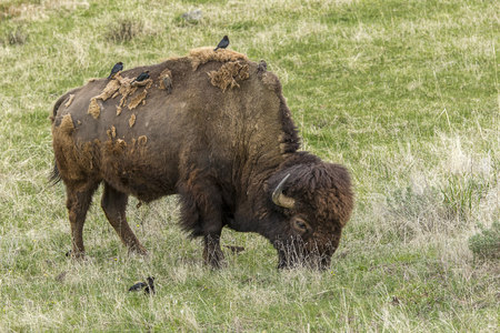 A bison in Yellowstone National Park grazes while birds perch on it.