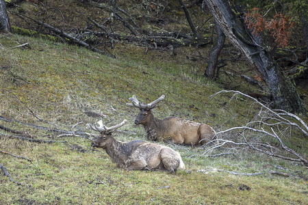 Two Elk lay in the grass in the northern part of Yellowstone National Park.
