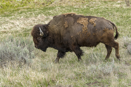 A large bison walks along in the northern part of Yellowstone in Wyoming.