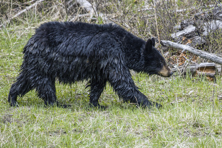 A wet black bear is walking in the grass in Yellowstone National Park.