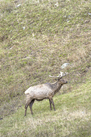 An elk is moving up the side of a hill in Yellowstone National Park.