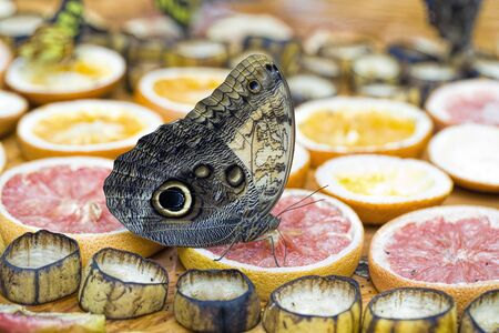 A closeup of a giant owl butterfly feeding on fruit at a butterfly garden in Sidney, BC Canada. Stok Fotoğraf