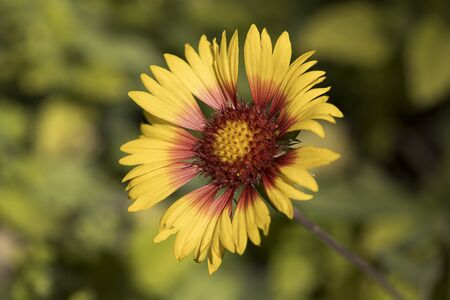 A close up photo of a delicate red and yellow coneflower in a garden.
