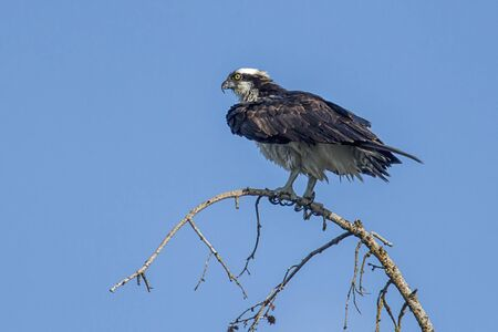 An osprey is perched on a branch on a clear day searching for fish by Hayden Lake in north Idaho, USA