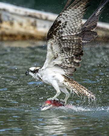 A beautiful osprey flies away from the water after just catching a salmon in Hayden Lake in Hayden, Idaho USA.